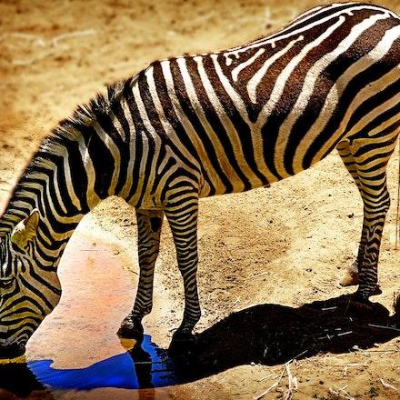 Zebra_at_Waterhole - OLYMPUS DIGITAL CAMERA