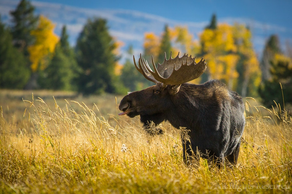 Nah Nah Nah Nah Moose!