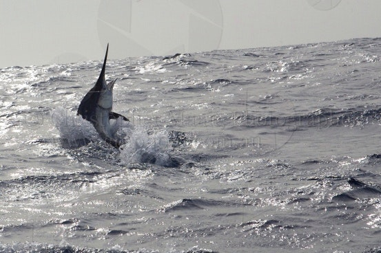 Aluhra Black marlin
