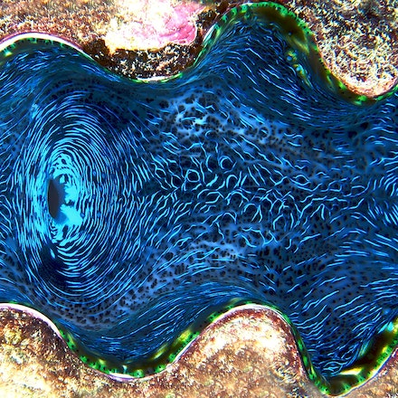 Giant Clam, Coral Sea - Copyright © 2015 Melissa Fiene Photography. All rights reserved. All images created by Melissa Fiene are © Melissa Fiene Photography.