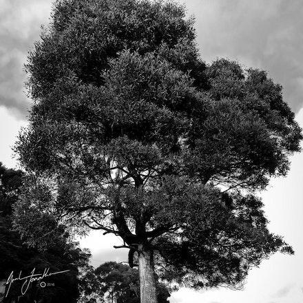 Tas Tree BW