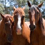 Picton Rodeo Jan 4 2014