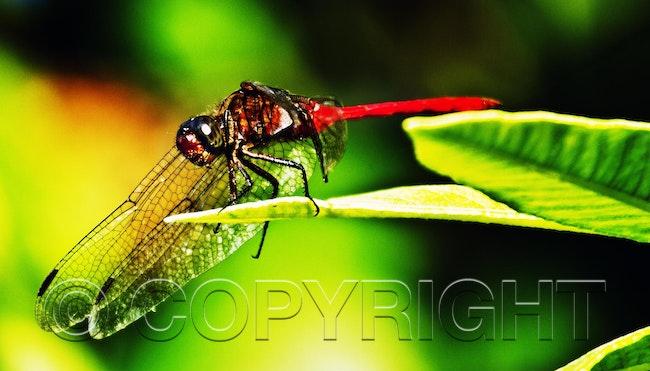 dragan fly