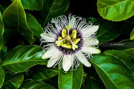 6 - Passionfruit