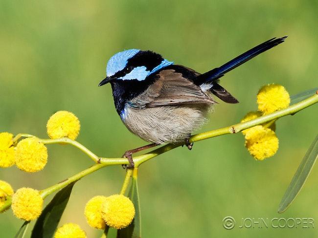 102) Superb Blue wren_male - Superb Blue Wren - male on flowering wattle