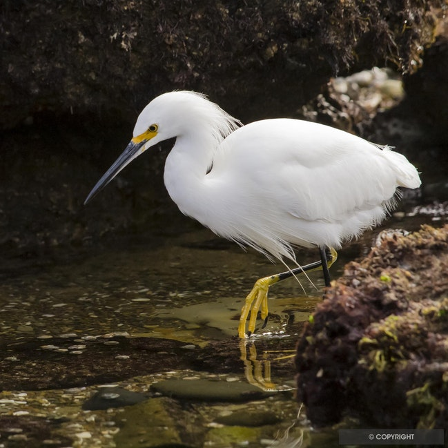 Lunch Stalker - Snowy egret stalking in tide pool, Cabrillo National Monument, San Diego, California