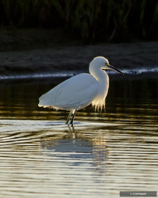 The Early Bird - Snowy egret back lit, San Diego River estuary, San Diego, California