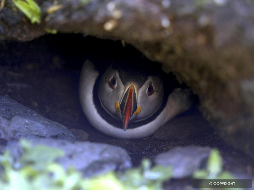Puffin Home - Atlantic puffin in burrow, Skellig Michael Island, Ireland
