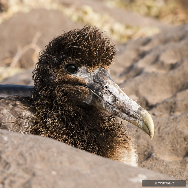 Bright-eyed & Bushy Headed - Wave albatross chick, Galapagos National Park, Ecuador