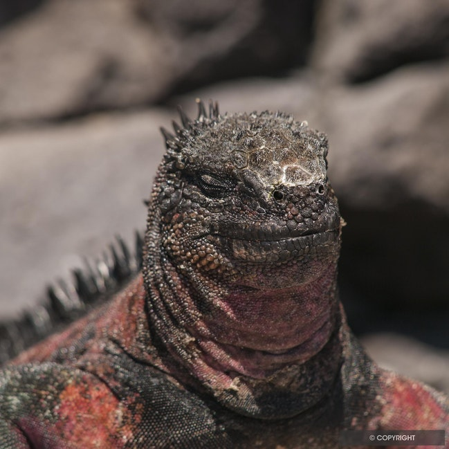 Beach Master - Marine iguana head & shoulders, Galapagos National Park, Ecuador
