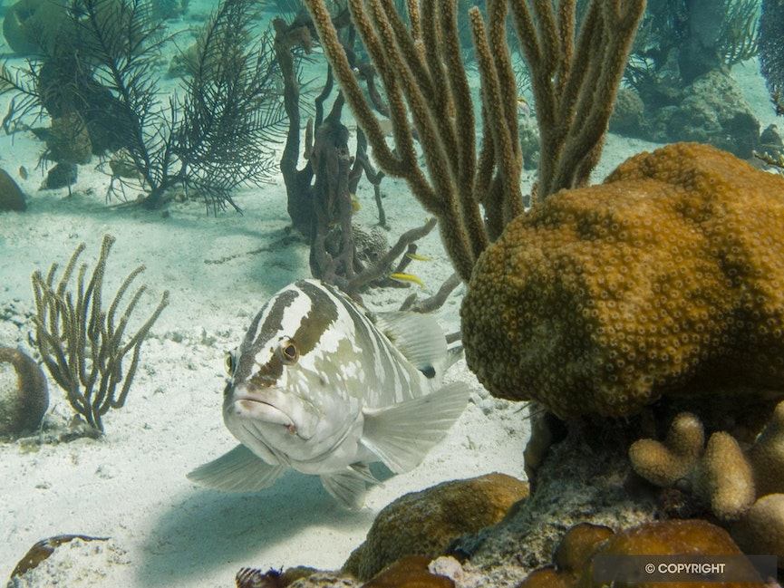 Nassau Grouper - A Nassau Grouper sheltered by a small star coral head in a gorgonian field