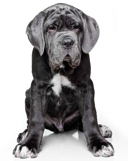 Bones 1 - Neopolitan Mastiff - Neopolitan Mastiff puppy 16 weeks sitting