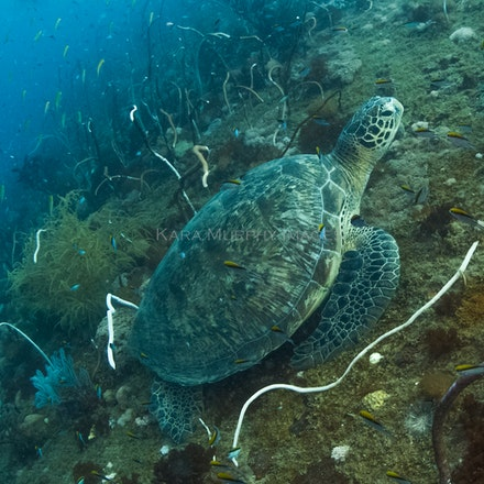 Green turtle, Yongala - A green turtle rests on the Yongala wreck, Great Barrier Reef, Queensland, Australia.
