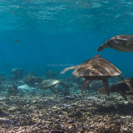 Ocean's Eleven - Eleven green sea turtles gather in the Lady Elliot Island lagoon, Southern Great Barrier Reef, Australia.