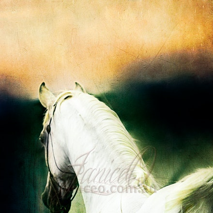 New Year 3 - Purebred Arabian white stallion, Silver Wind Van Nina. Digital painting based on a photo by Sharon Meyers Photography.