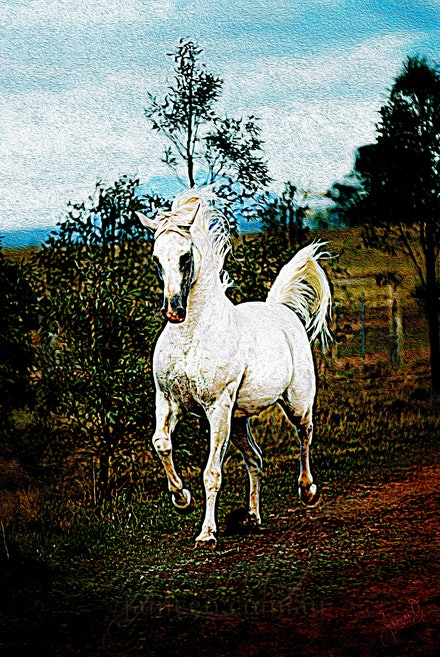 The White Stallion - Neck arched, tail waving, the purebred Arabian stallion, Silver Wind Van Nina, gallops the fence line calling to his mares. Heavy...