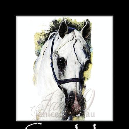 Silver Wind Van NIna - Fairy tale white stallion, purebred Arabian, champion and supreme.