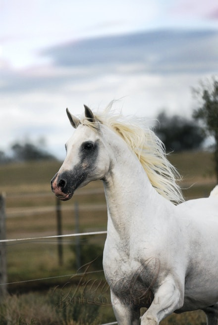 The White Stallion - An action shot of the purebred Arabian stallion, Silver Wind Van Nina at home at Comanche Lodge, Kentville. Image taken by Sharon...
