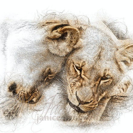 Friendships - Spending 16-20 hours of the day sleeping or resting, lions are the laziest of the big cats. They can be found lying on their backs with their...