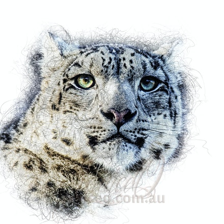 Bright Eyes - Green eyes of a snow leopard shining in the light.