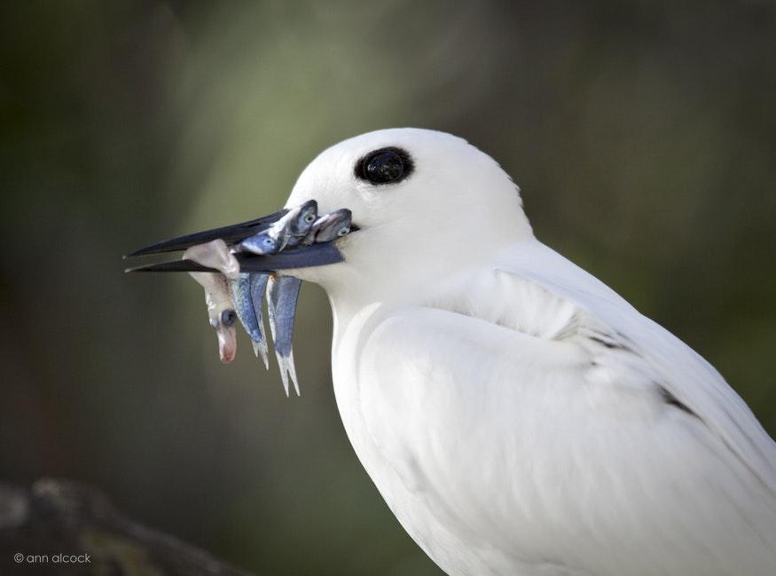 Birds-10 - White Tern