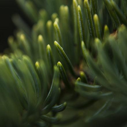 Spruce Needle Macro
