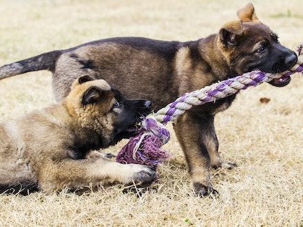 Full Sisters - Leafield Gypsy and Leafield Sadie - Sable Working Line German Shepherds bred by Leafield German Shepherd Dogs.  Sire: Vonammerberg Eldo....