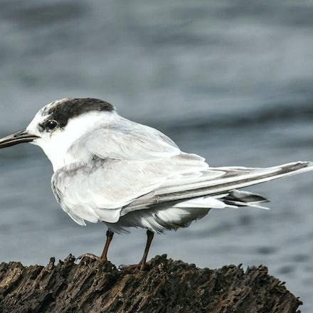 Common tern , Sterna hirundo - (press for more images) Common tern , Sterna hirundo