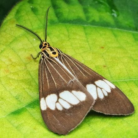 Magpie moth,  Nyctemera secundiana Family Arctiidae - Magpie moth,  Nyctemera secundiana Family Arctiidae , moths