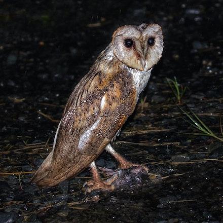 Eastern barn owl , Tyto alba Tytonidae - (press for more images) Eastern barn owl, Tyto alba Tytonidae