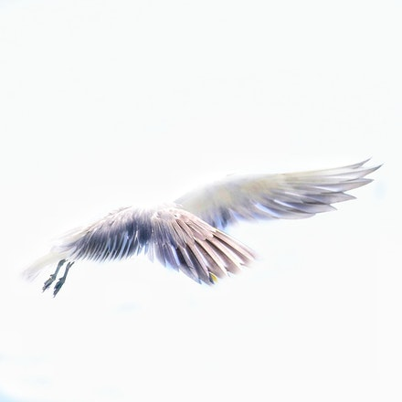 Greater crested tern , Thalasseus bergii - Greater crested tern , Thalasseus bergii