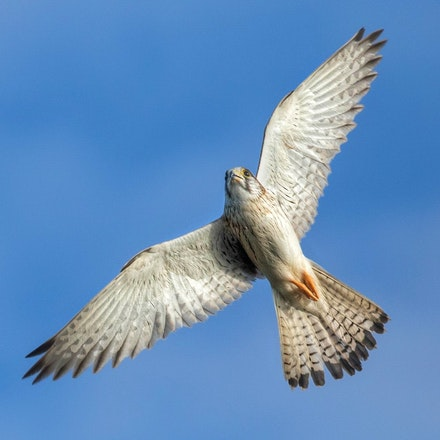 Nankeen-kestrel , Falco cenchroides - Nankeen-kestrel , Falco cenchroides